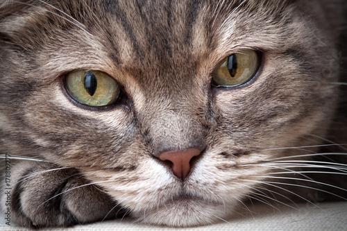 Fototapeta Closeup of european shorthair tabby cat, closeup