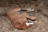 Palomino foal sleeping in the stable - 178819642