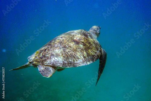 Fotobehang Schildpad Tortue de mer dans les Caraibes