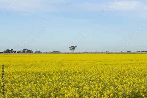 Fotobehang Meloen Canola Fields on Sunny Day