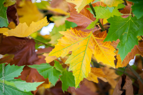 Fotobehang Vlinder Colorful autumn leaves plane tree