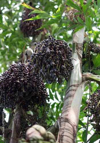 Fotobehang Natuur Acai berries on palm tree. Euterpe oleracea.