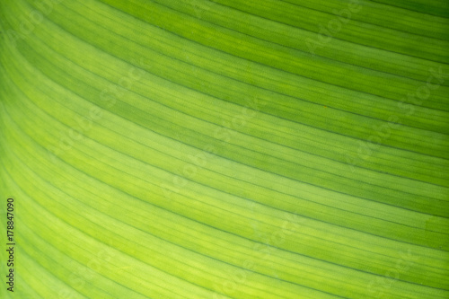 Close up of nature view of green banana leaf and texture under sun light Poster