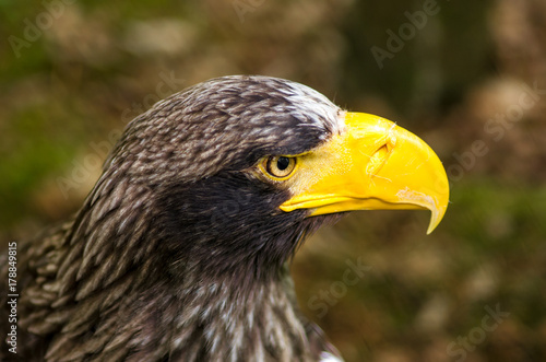 Fotobehang Eagle Piercing eye of a steller sea eagle
