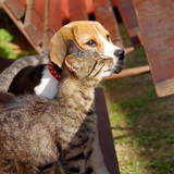 Beagle dog and cat - 178865659