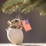 mouse in egg holding an American Flag in mouth - 178869481