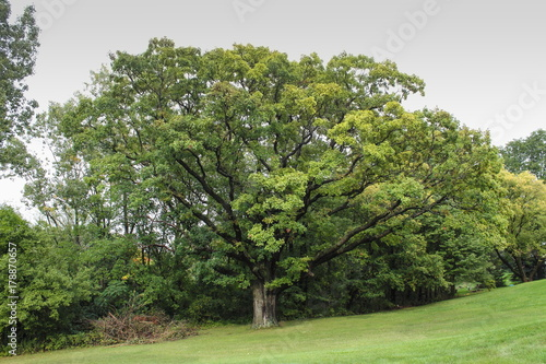A large Oak Tree growing in Michigan in early Fall Poster