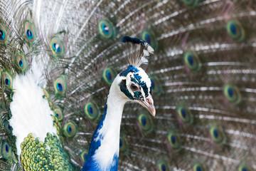The Indian peafowl or blue peafowl (Pavo cristatus)