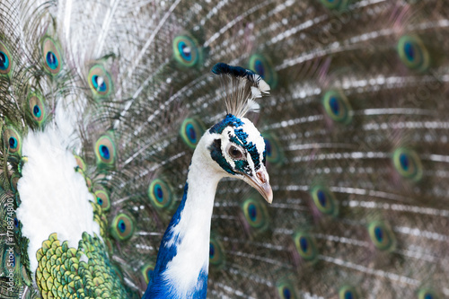 Fotobehang Pauw The Indian peafowl or blue peafowl (Pavo cristatus)