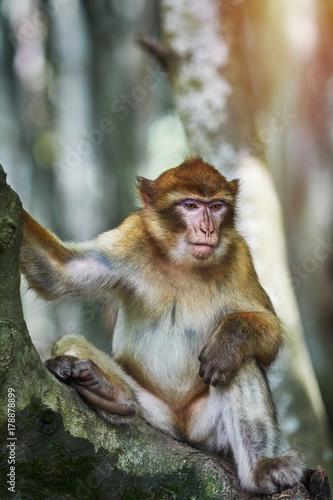 Aluminium Aap Barbary Macaque (Macaca Sylvanus)