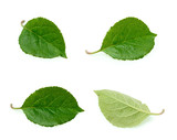 Apple leaves isolated on the white background - 178887044