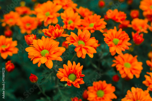 Fotobehang Gerbera flowers chrysanthemum, Chrysanthemum wallpaper, chrysanthemums in autumn, Beautiful chrysanthemum as background picture, The splendor of death, Field filled with chemicals