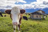 Kuh auf der Alm in den Alpen - 178895089