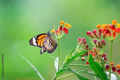 Deurstickers Vlinder Orange butterfly on red flowers