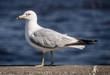 Duluth seagull