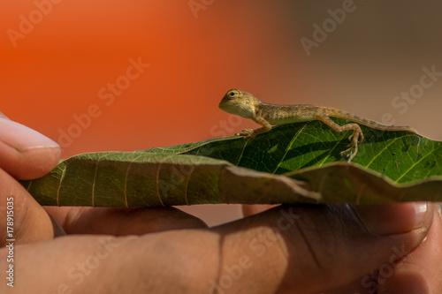 Fotobehang Kameleon A baby chameleon on the leaf