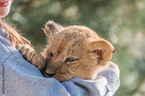 Lion cub sitting and pawing up, close up Poster