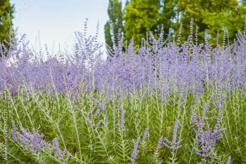 Fotobehang Lavendel Beautiful lavender plant