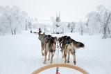 Husky dog sledding in Lapland, Finland - 178928240