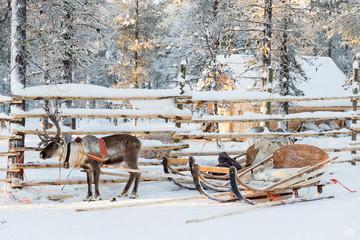 Reindeer sledge, in winter, Lapland, Finland