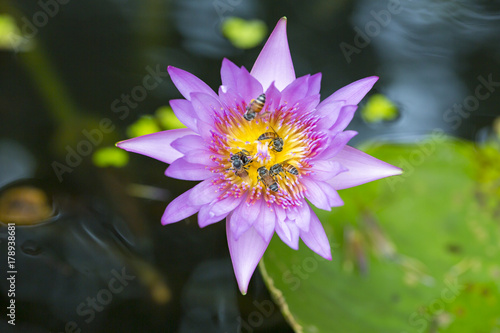 Waterlily (lotus) flowers with many bees collecting the sweet Poster