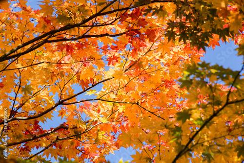 Papiers peints Orange eclat 紅葉の秋
