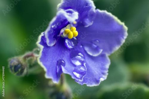 Fotobehang Iris flowers in the water droplets