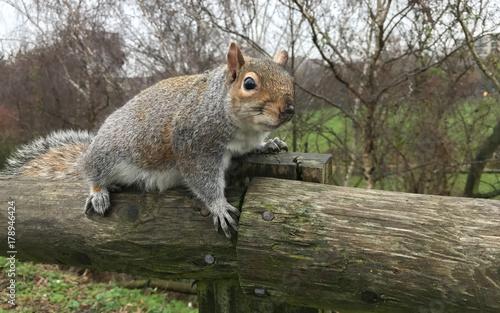 Fotobehang Londen Squirrel