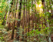 redwood forest sun shining