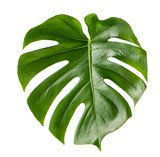 Green leaf exotic plant monstera isolated white background - 178955099