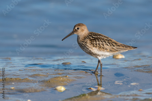 Plagát Dunlin (calidris alpina) at low tide looking for shells and sea worms