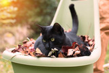 Domestic black cat is laying in a pile of autumnal fallen leaves