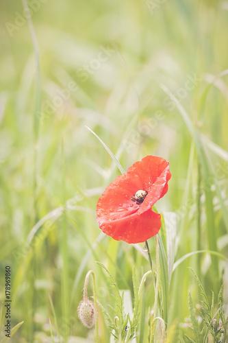 Foto op Plexiglas Klaprozen Coquelicot dans un champ