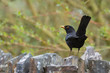 British blackbird