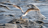 Cycle of nature, eat and be eaten: seagull hunts for crabs :) - 178974087