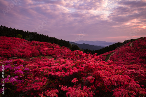 Fotobehang Lavendel 奈良県 葛城山 ツツジ