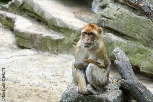 Aluminium Aap One monkey is sitting on a stone. Look to the right. Wise look