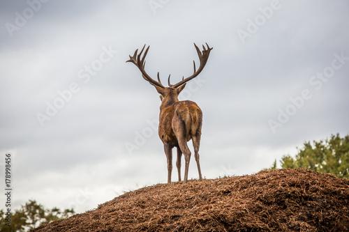 Foto op Plexiglas Ochtendgloren Portrait of majestic powerful adult red deer stag in Autumn Fall forest