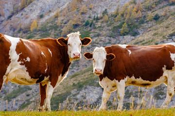 Deux vaches de couleurs blance et brune, gros plan, dans les montagnes.