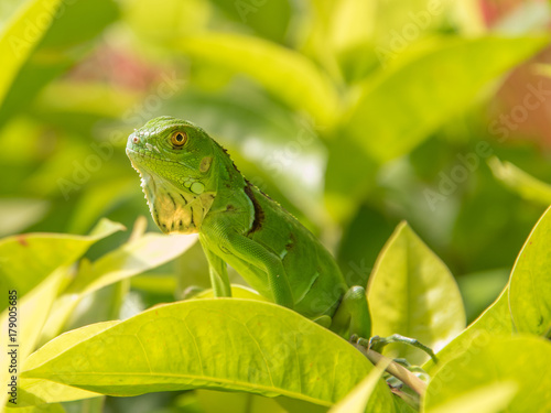 Baby Green Iguana On Green Leaves