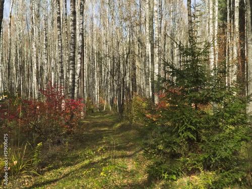 Papiers peints Bosquet de bouleaux Autumn forest