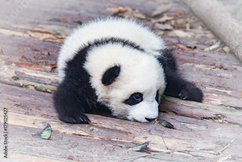 Baby of Giant Panda. Poster
