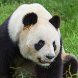 Giant panda, beautiful bear panda, head