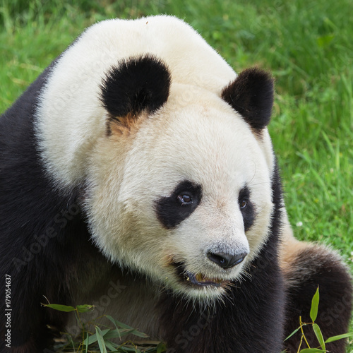 Aluminium Panda Giant panda, beautiful bear panda, head