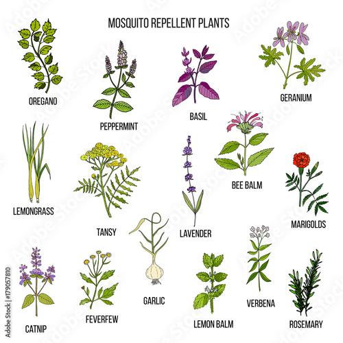 Best mosquito repellent plants - 179057810
