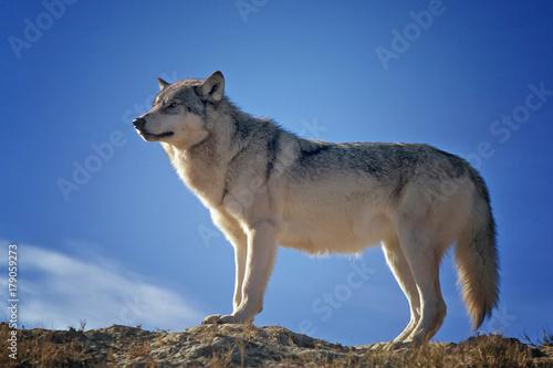 Aluminium Wolf Wolf