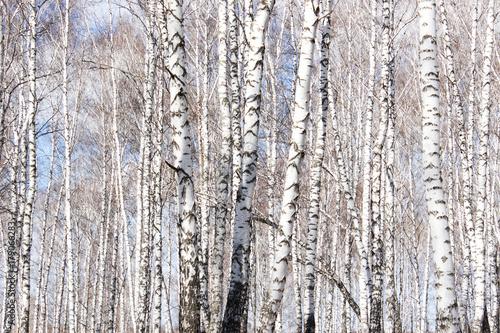 Fotobehang Berkenbos The birch tree in spring forest