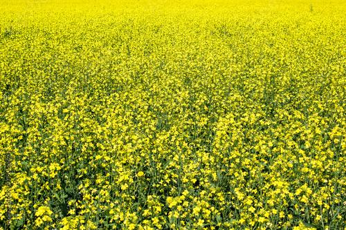 Keuken foto achterwand Geel Yellow rapeseed field as background