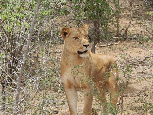 Fotobehang Lion South African wildlife