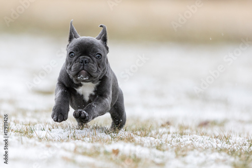 Canvas Franse bulldog French Bulldog Photos